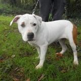 Pattie, Chiot american staffordshire à adopter