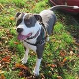 O brian dit ozzy , Chien american staffordshire à adopter