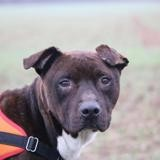 Little haa22608, Chien american staffordshire à adopter