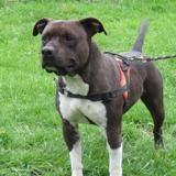 Locky, Chien american staffordshire à adopter