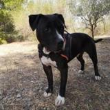 Hindio, Chien american staffordshire terrier à adopter