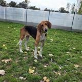 Moïra, Chien anglo à adopter