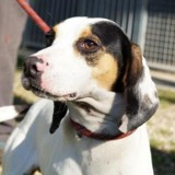 Tomi, Chien ariegeois à adopter