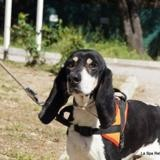 Boby, Chien ariegeois à adopter
