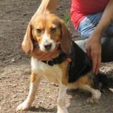 Arka, Chiot beagle à adopter