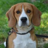 Neo chao8863, Chiot beagle à adopter