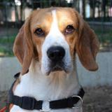 Tango, Chien beagle à adopter