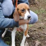 Lucy, Chien beagle à adopter