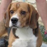 Moogly, Chien beagle à adopter
