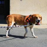 Gobi, Chien beagle à adopter