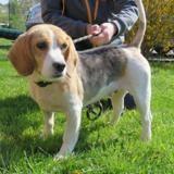 Harko, Chien beagle à adopter