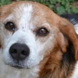 Dollard, Chien beagle à adopter