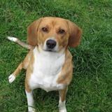 Cyrielle, Chien beagle à adopter