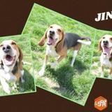 Jinko, Chien beagle à adopter