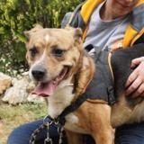 Rocky, Chien beagle à adopter