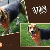 Vic, Chien beagle à adopter