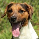 Gaspar oaa18349, Chiot beagle à adopter