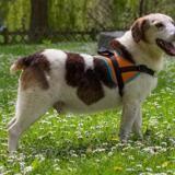 Tahio(déjà adopté), Chien beagle à adopter