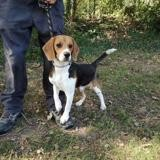 Happy, Chiot beagle à adopter