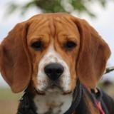 Oreo (réservé), Chiot beagle à adopter