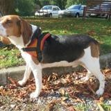 Noa (réservé), Chien beagle à adopter
