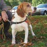 Fino (réservé), Chien beagle à adopter