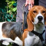 Obama oaa18476, Chien beagle à adopter