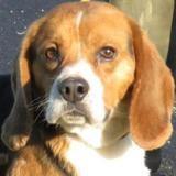 Baltazar, Chien beagle à adopter