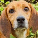 Cosby, Chien beagle à adopter