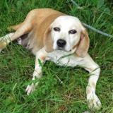 Diane, Chien beagle à adopter