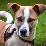 Paddle (réservé) oaa18306, Chiot beagle à adopter