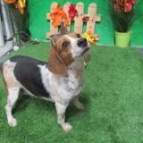 Mirabelle, Chien beagle à adopter