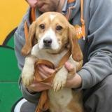 Couronne, Chien beagle à adopter