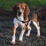 Arobase, Chien beagle à adopter