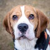 Layton, Chien beagle à adopter