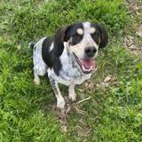 Pepite, Chiot beagle à adopter