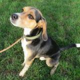 Neiko (réservé), Chien beagle à adopter