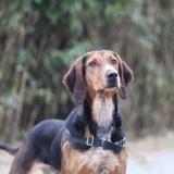 Rasmus, Chien beagle à adopter