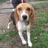 Pepper, Chiot beagle à adopter