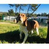 Gandalf, Chien beagle à adopter