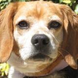 Santa, Chien beagle à adopter