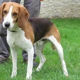 Jerco, Chien beagle à adopter
