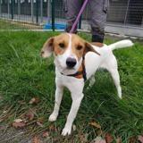 Rocky (réservé), Chien beagle à adopter