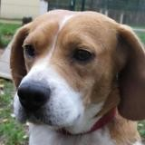 Iroise paa20195, Chien beagle à adopter