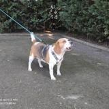 Jessy vaa22798, Chien beagle à adopter