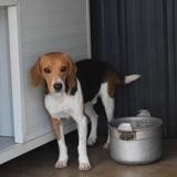 Rangi, Chien beagle à adopter