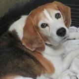 Fino, Chien beagle à adopter