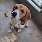 Raptor (réservé), Chiot beagle à adopter