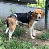 Bebel, Chien beagle à adopter