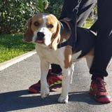 Replay caa 10021, Chiot beagle à adopter